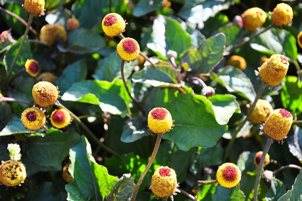 spilanthes 400x600