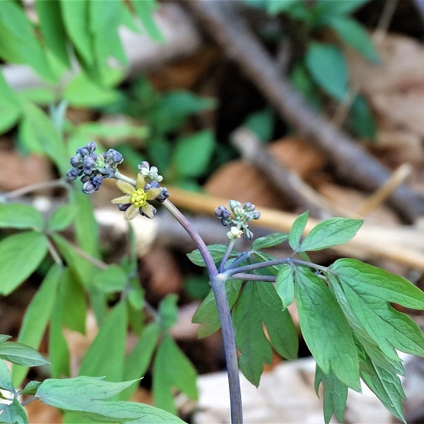 blue cohosh square 1