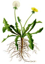 dandelion whole plant