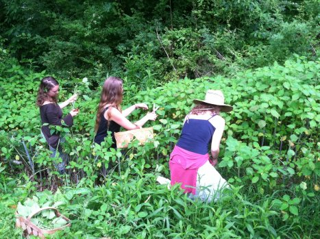 harvesting jewelweed