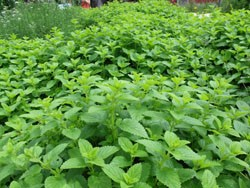 lemon balm patch