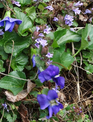 violet and ground ivy